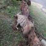 Male hyena found dead in Mudumalai forest! Road kill suspected