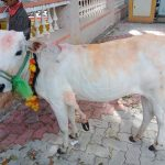Five-legged bull calf rescued, shifted to Mysore Pinjrapole Society